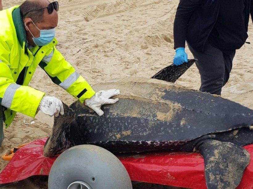 Tartaruga recolhida sem vida na praia de Espinho