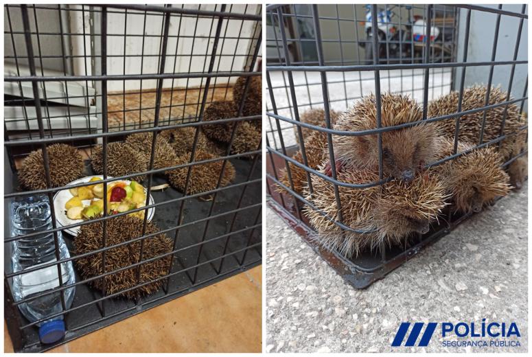 PSP de Espinho apreende ouriços-cacheiros criados para consumo humano